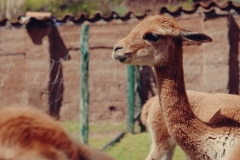 Cochahuasi Animal Sanctuary